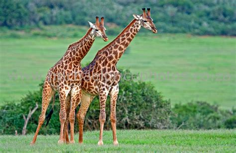 The Giraffe | Largest Animal In The World | Animals Lover