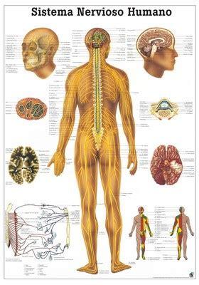 The Human Nervous System Laminated Anatomy Chart (Sistema ...