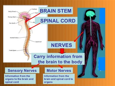 The Nervous System Parts And Functions