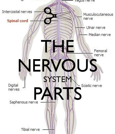 THE NERVOUS SYSTEM PARTS   KEEP CALM AND CARRY ON Image ...