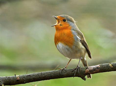 The robin: mating habits, behaviour & song - Saga