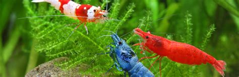 The Shrimp Tank | Freshwater Invertebrates For Sale ...
