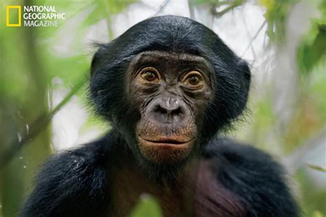 theKONGBLOG™: Are Bonobo Apes Our Most Common Ancestors?