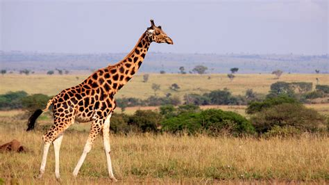 There Are Four Species of Giraffe, Not One — NOVA Next   PBS