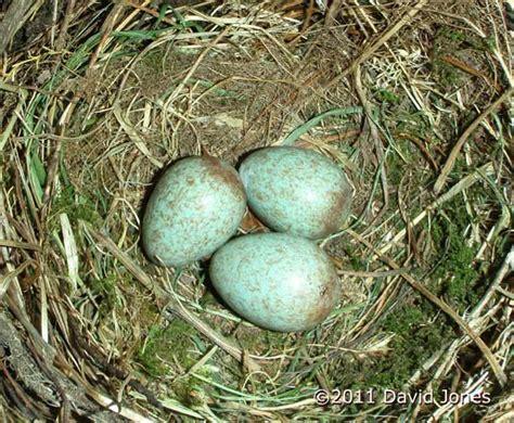 Third Blackbird egg is laid, 20 April