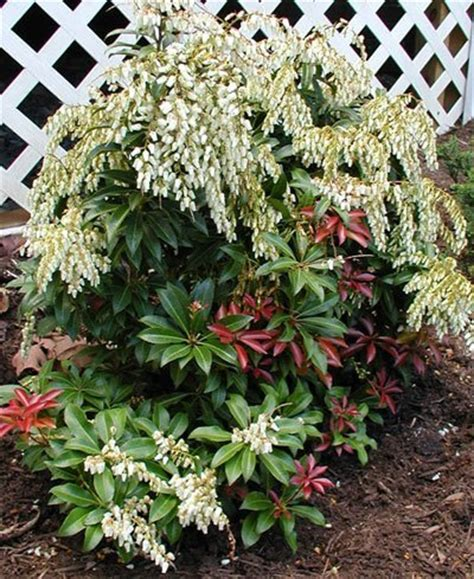 Three Evergreen Ornamental Shrubs - Nana's Garden Gate