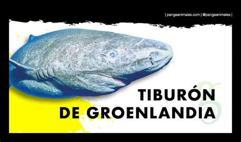 Tiburón de Groenlandia: Qué come, Cuánto vive y Hábitat ...