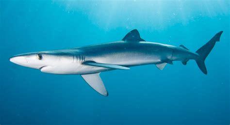 Tiburones azules o tintoreras