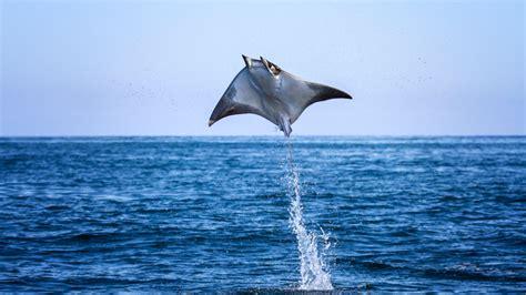 Tiburones: ¿Cómo eligen pareja y se reproducen?
