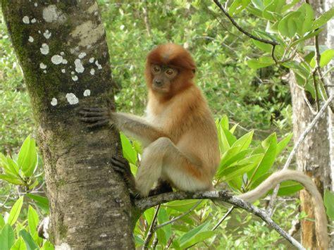 Tiedosto:Juvenile Proboscis Monkey.jpg – Wikipedia