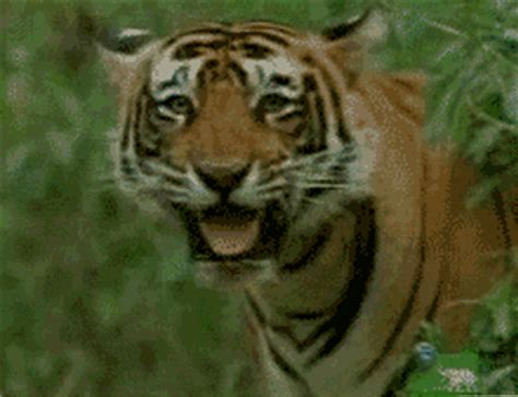 Tigers GIF - Find & Share on GIPHY
