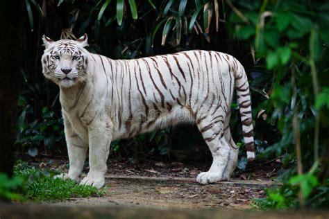 Tigre blanc dans la forêt photo stock. Image du grand ...