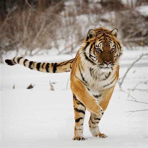 Tigre Siberiano   Información y Características