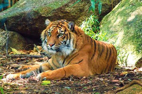 TIGRES | Cuanto viven los tigres segun especie, salvajes y ...