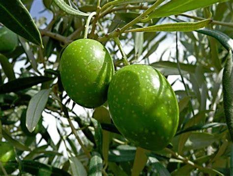 Tipos de aceitunas   Aceite de Oliva Virgen