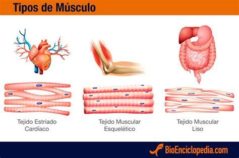 Tipos de músculo del cuerpo humano | Cuerpo Humano ...
