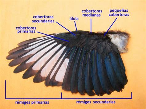 Tipos de plumas en el ala de una urraca. | Download ...