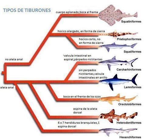 Tipos de tiburones » TIBURONPEDIA