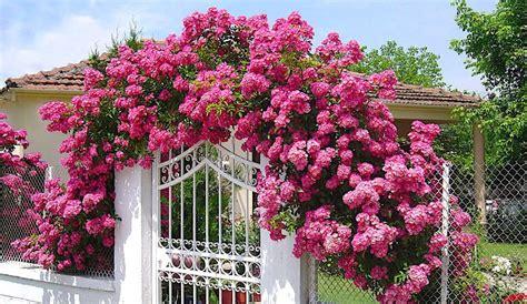 Tipos de Trepadeiras   Flores e Folhagens