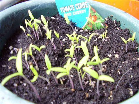 Tomate cereja em vaso - passo a passo de como plantar