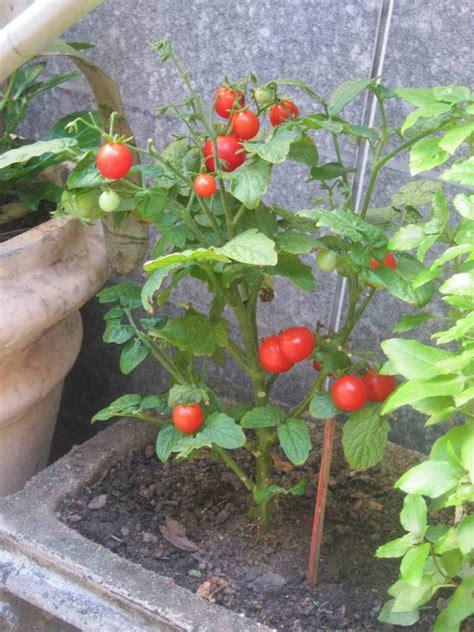 Tomate cereja em vaso   passo a passo de como plantar
