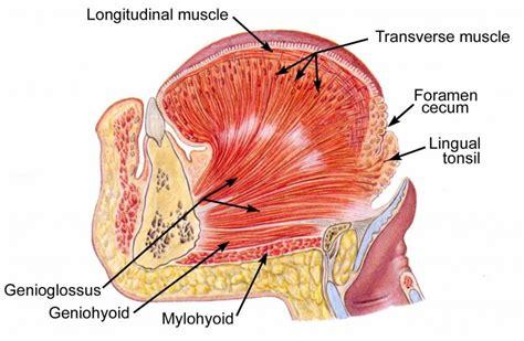 Tongue Muscles Anatomy - Human Anatomy Diagram