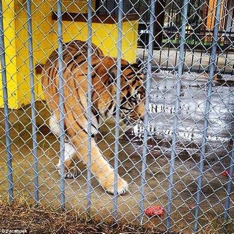 Tony the Louisiana truck-stop tiger dies at age 17 | Daily ...