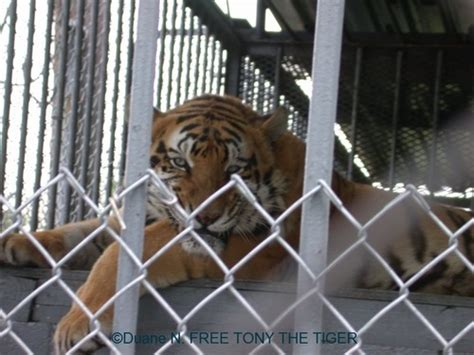 Tony the Truck Stop Tiger is headed for a better life ...