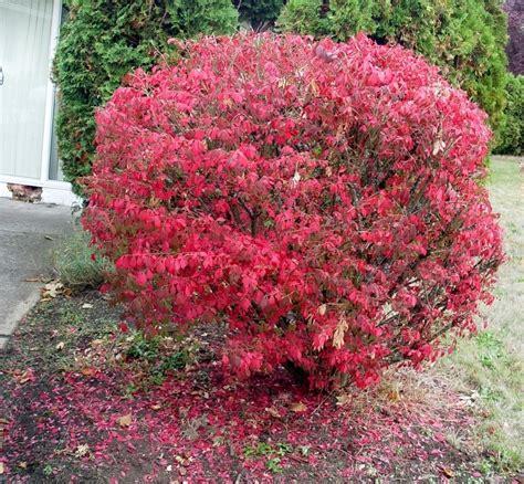 Top 28+ - Burning Bush Plant - burning bush euonymus ...