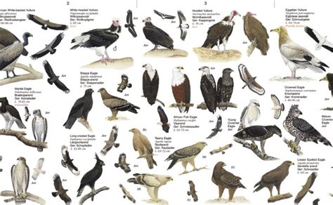 Top 28 - Southern California Birds Of Prey Identification ...