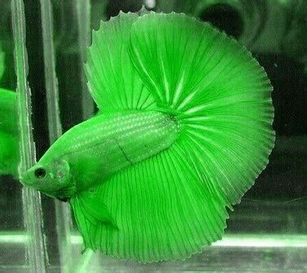 Top 35+ Beautiful Types of Betta Fish with Amazing Pictures