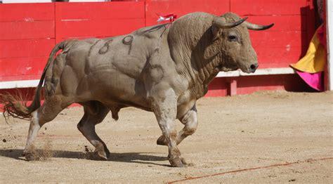 TOROS A Vauvert, le toro fera le Printemps   Objectif Gard