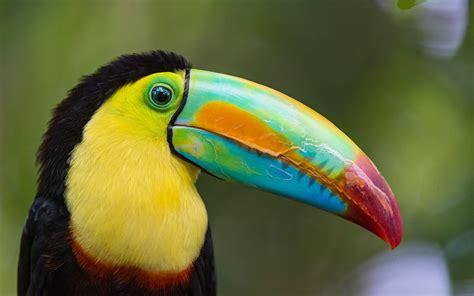 TOUCAN parrot bird tropical  40  wallpaper | 2880x1800 ...