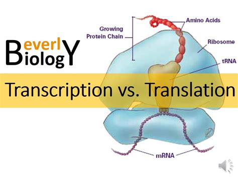 Transcription vs. Translation   YouTube