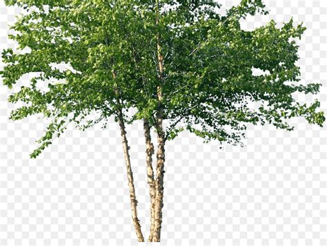 Tree River birch Woody plant Forest   russian png download ...