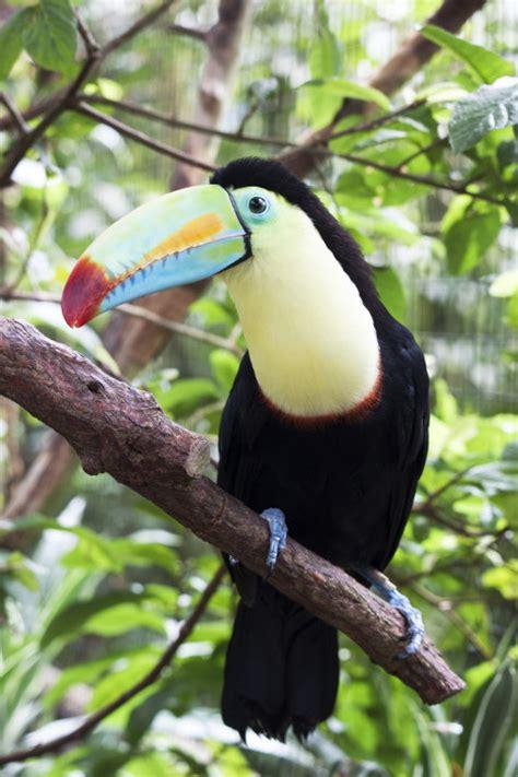 Tres hermosas aves de Costa Rica   Azul Tourquesa