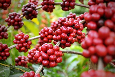 Três variedades de café criadas no Espírito Santo são ...