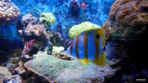 Tropical fish and anemones   Barbaras HD Wallpapers