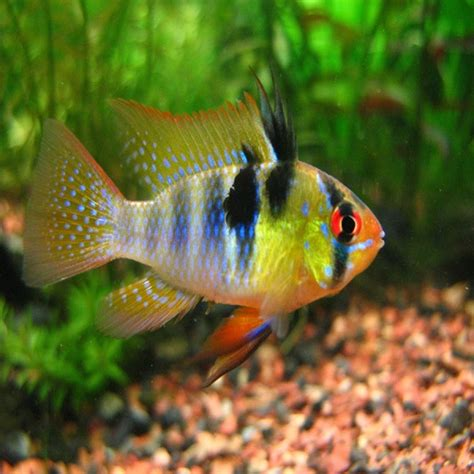 Tropical fish for sale in Melbourne Victoria  Amazing Amazon