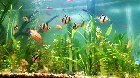Tropical Fish Keeping – Barbs | Tropical Fish Keeping