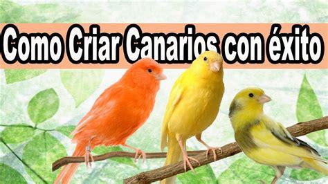 Truco para Criar Canarios con Exito y Muy Fácil   YouTube