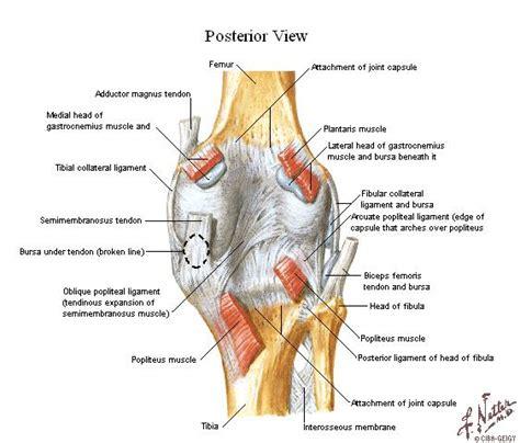 Tu Preparador de Anatomía: Complejo Articular de la ...