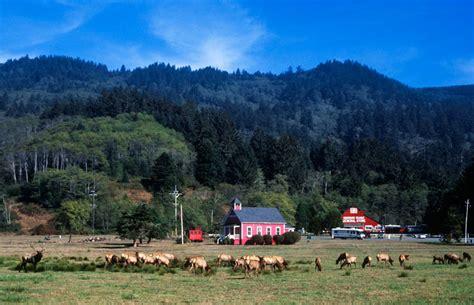 Tule Elk in Northern California Del Norte County near ...