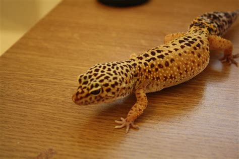 Two Adult Female Leopard Gecko s for Sale   Ware ...