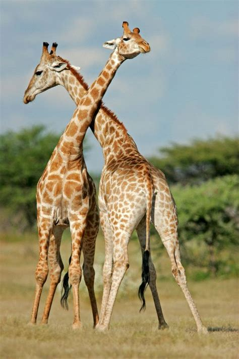 Two Male Giraffes Fighting - Giraffe Facts and Information