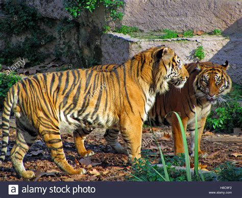 Two tigers, Barcelona Zoo, Spain Stock Photo, Royalty Free ...