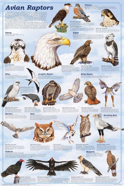 types of raptors - Google Search | Birds | Pinterest ...
