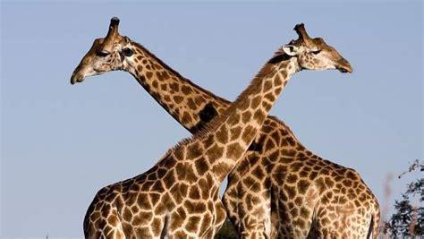 Un análisis genético revela que hay cuatro especies de ...