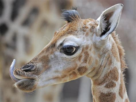 Un bebé de jirafa toma contacto con un grupo de jirafas ...
