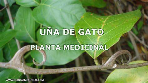 Uña de Gato - Planta Medicinal - YouTube